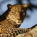 Leopard close lit by setting sun. Panthera pardus