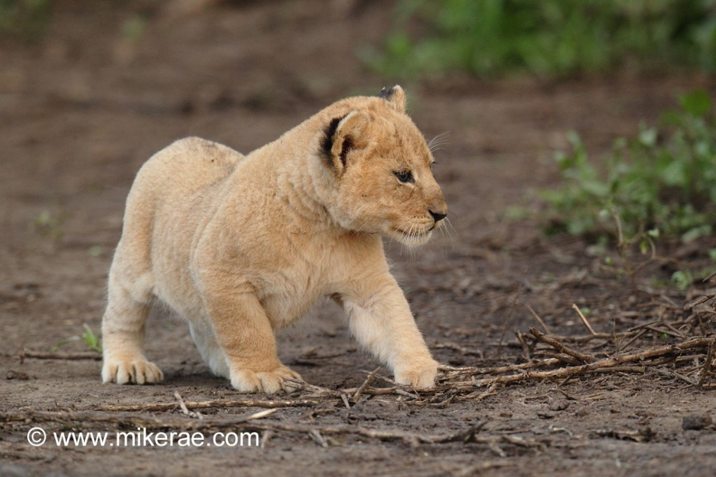 young lion cubs discover ndutu mike rae