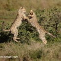 Cheetah cub pair springing fight. Acinonyx jubatus