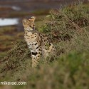 Serval cat sitting looking out. Leptailurus serval