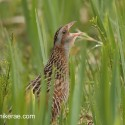 Corncrake calling from the side in wet yellow flag. Crex crex