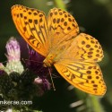 Silver-washed Fritillary in morning sun,  June Suffolk.  Argynni