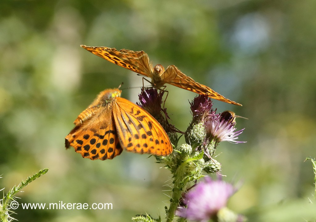 Silver-washed Fritillary about to land behind, June Suffolk. Argynnis paphia