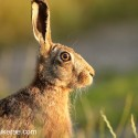 Brown hare  sitting close at sunset. June Suffolk. Lepus europae