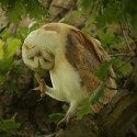 Barn owl itch in middle of morning oak. July Suffolk. Tyto alba
