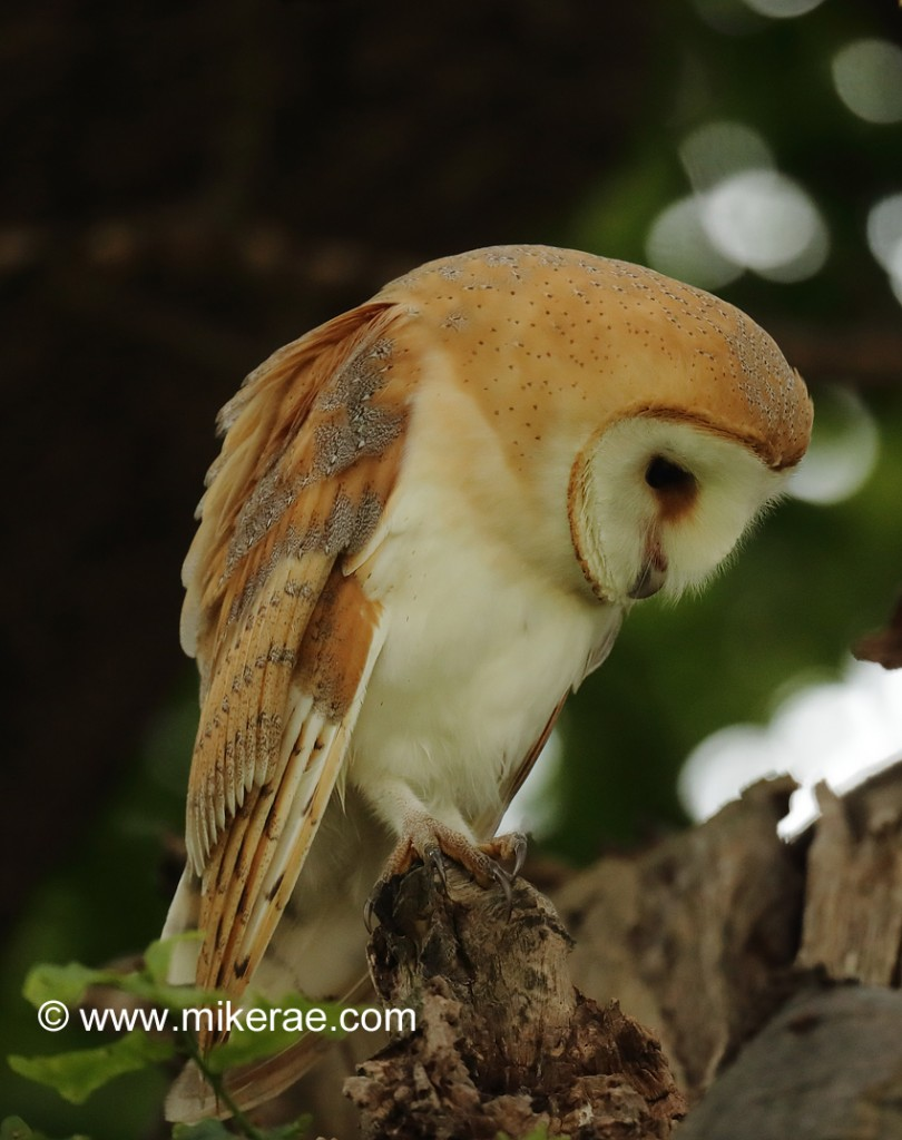 Barn owl early morning looking down in oak. July Suffolk. Tyto alba