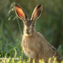 Brown Hare backlit by evening sun. August Suffolk. Lepus europaeus
