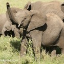 Young African Elephant being assertive. Loxodonta africana