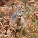 Roe Deer in bracken. Skye November.Capreolus capreolus