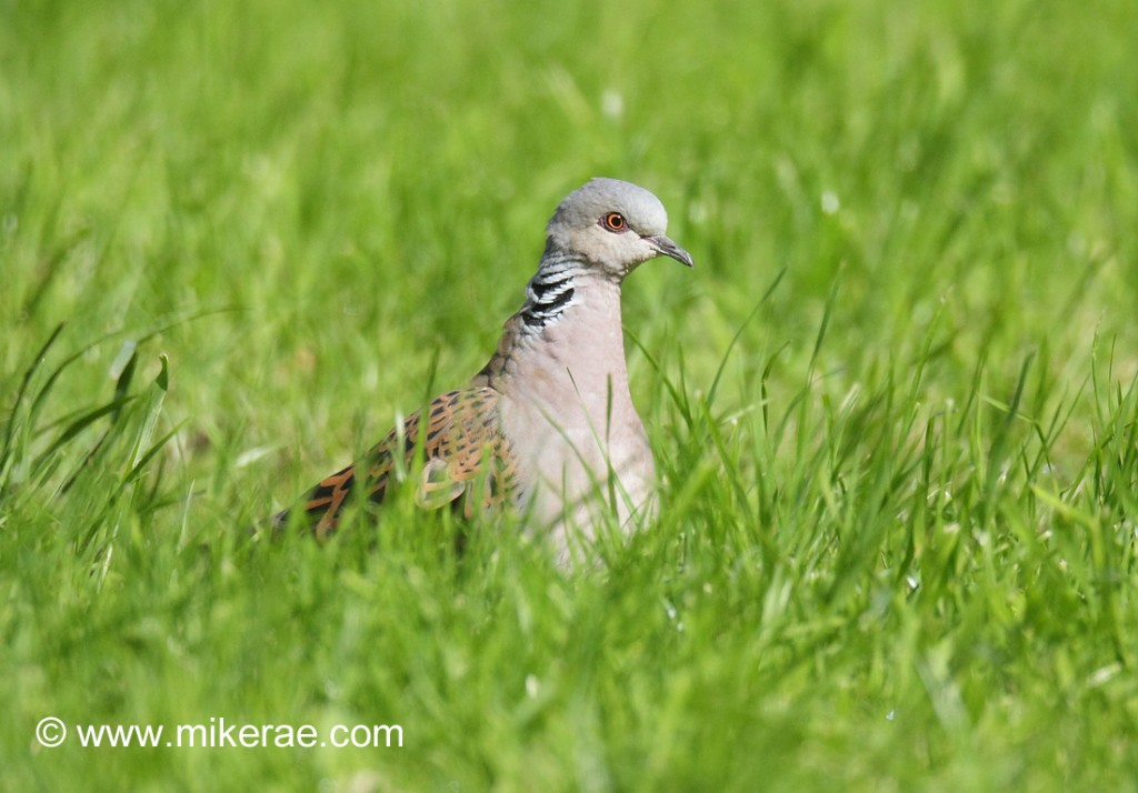 Turtle Dove in a Suffolk meadow. Streptopelia turtur