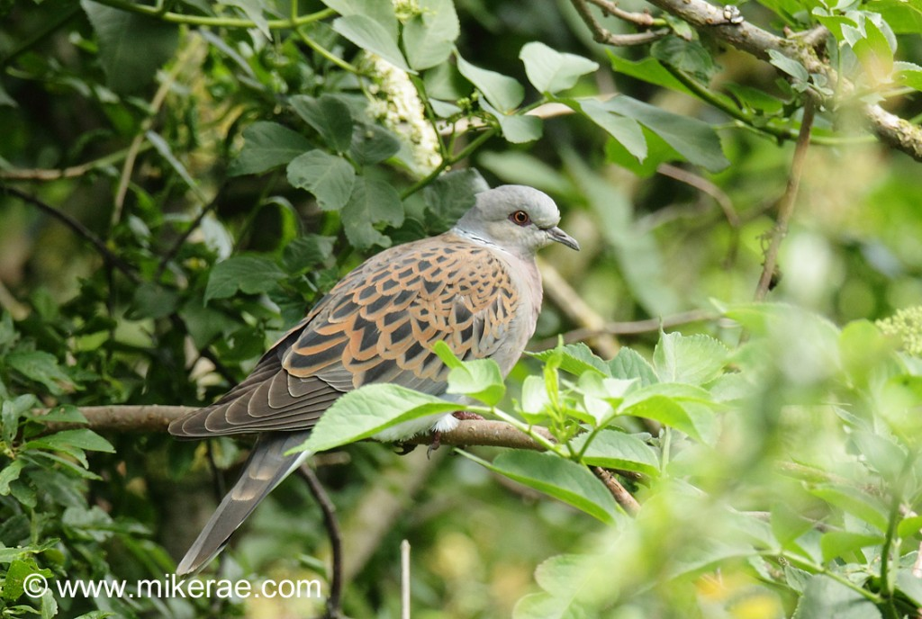 Turtle Dove in a Suffolk hedge. Streptopelia turtur