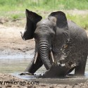 Young elephant splashing in water Loxodonta africana