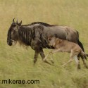 Wildebeest with skipping calf Connochaetes taurinus