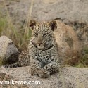 Leopard cubs sits and waits alone Panthera pardus