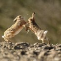 Brown Hares boxing on the skyline, Lepus europaeus
