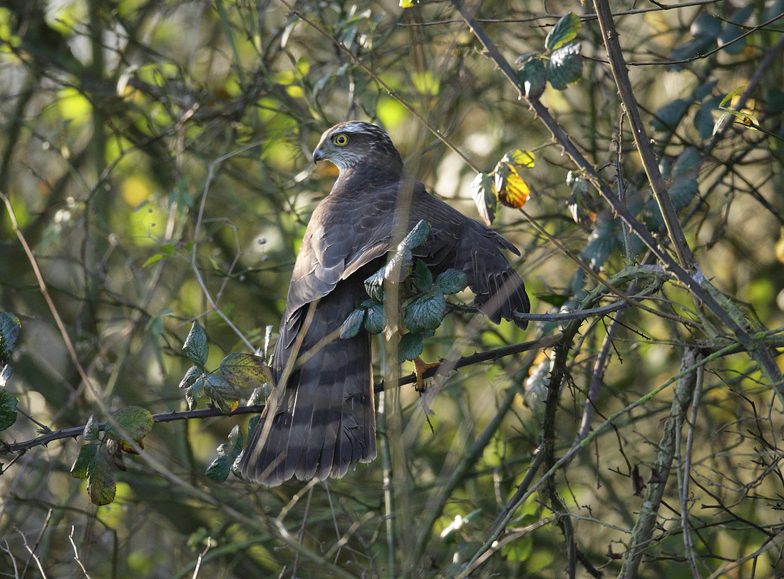 Sparrowhawk struggling to hunt in a thick winter hedge. Accipiter nisus
