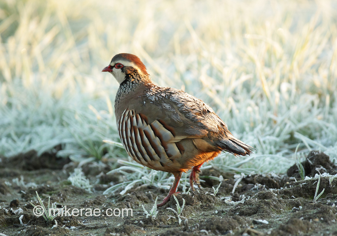 Red-legged Partridge with frosty back. December Suffolk. Alectoris rufa