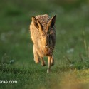 Brown hare running on one foot. Sunny August morning Suffolk. Lepus europaeus