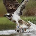Osprey with half caught trout. May Cairngorms NP. Pandion haliaetus
