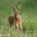 Brown hare lerveret running and looking. Sunny August evening Suffolk Lepus europaeus