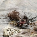 Otter bringing fish out of the water. Kylerhea Skye lutra lutra