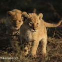 Lion cubs early morning investigation. Panthera leo