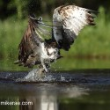 Osprey with up right flat wings pulls trout from water. Cairngorm NP. Pandion haliaetus