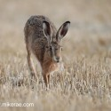 Brown Hare running on stubble at twilight . August Suffolk. Lepus europaeus