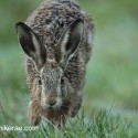 Wet Brown hare moving in before dawn. September Suffolk. Lepus europaeus