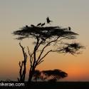 Pre dawn cranes at Ndutu
