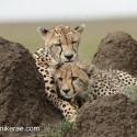 Cheetah mother and cub and flies on termite hill. Acinonyx jubatus