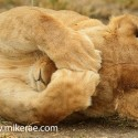 Lion covering her eyes at sunset Panthera leo