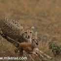 Cheetah cub chases gazzell Acinonyx jubatus