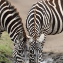 Zebra pair drinking and looking Equus quagga