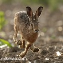 Brown hare fast and close on parched ground. August Suffolk. Lepus europaeus