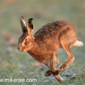 Brown hare running past on melting snow. January Suffolk. Lepus europaeus