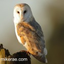 Barn owl looking sun at dawn. February Suffolk. Tyto alba
