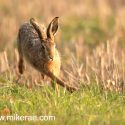 Brown hare side doge at dawn. April Suffolk. Lepus europaeus