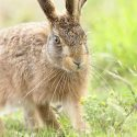 Brown hare Leveret walking. Midsummer evening Suffolk. Lepus europaeus