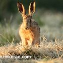 Brown hare on cut hay in dawn sun. June Suffolk. Lepus europaeus