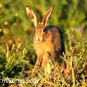 Brown hare jumping up close. Dawn September Suffolk. Lepus europaeus