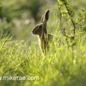 Brown hare paused in sunny evening hedge, May Suffolk. Lepus europaeus