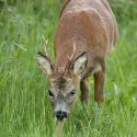 Roe deer buck head low in grassy woodland. May Suffolk Capreolus
