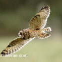 Short eared owl in flight over sunny meadow. November Suffolk Asio flammeus