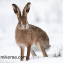 Brown hare sitting and turning sideways in snow. February Suffolk. Lepus europaeus