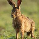 Brown hare leveret wet with dawn dew. June Suffolk. Lepus europaeus